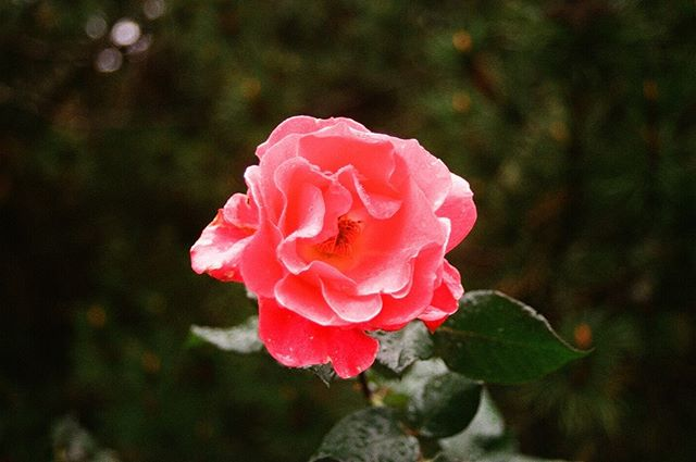 My Pisces rising only oscillates between two states: (1) complete panic, and (2) complete dissociation !! 🧚♀️ HERE IS A FLOWER to prove my point 🌸