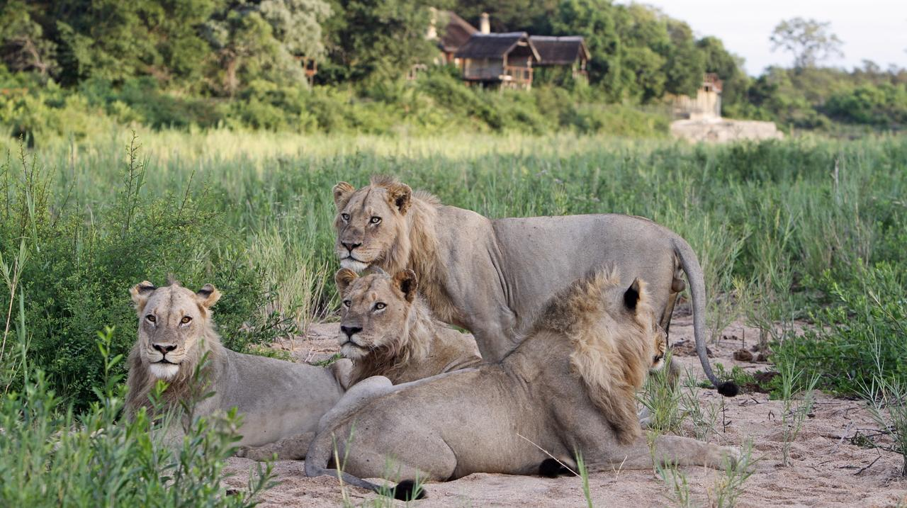 jock lodge male_lions_in_front_of_the_lodge_web.jpeg
