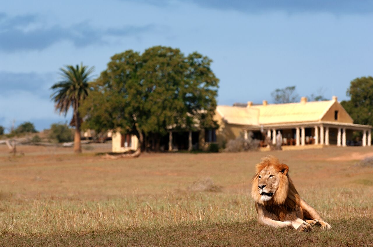 GEC Lion Lying in Front of Lodge.jpg