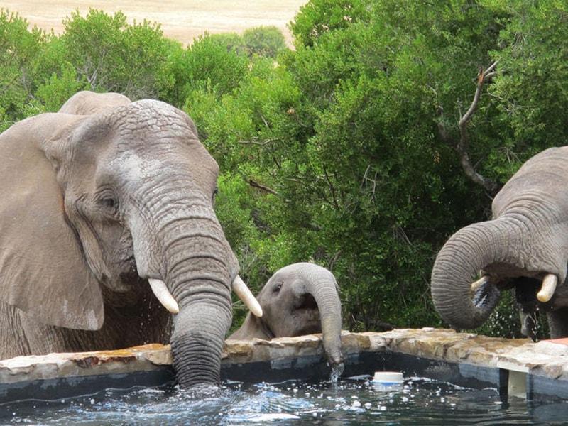Eastern_Cape_Safari_greater_Addo_accommodation_Amakhala_Game_reserve_HillsNek_Safari_Camp_Elephants-min.jpg