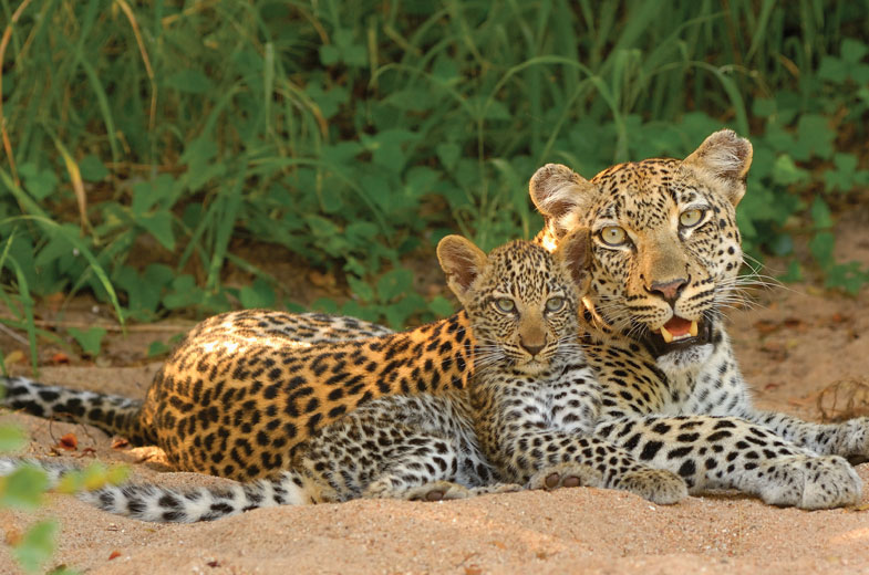 cute-leopard-babies-at-kruger-1.jpg