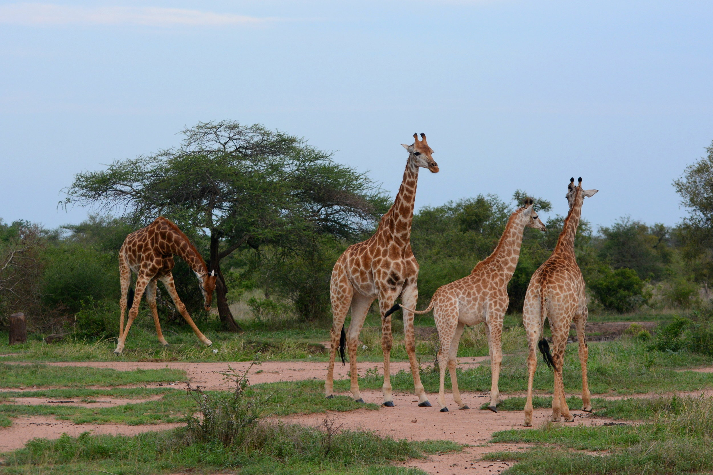 Giraffes_in_Kruger_National_Park_02.JPG