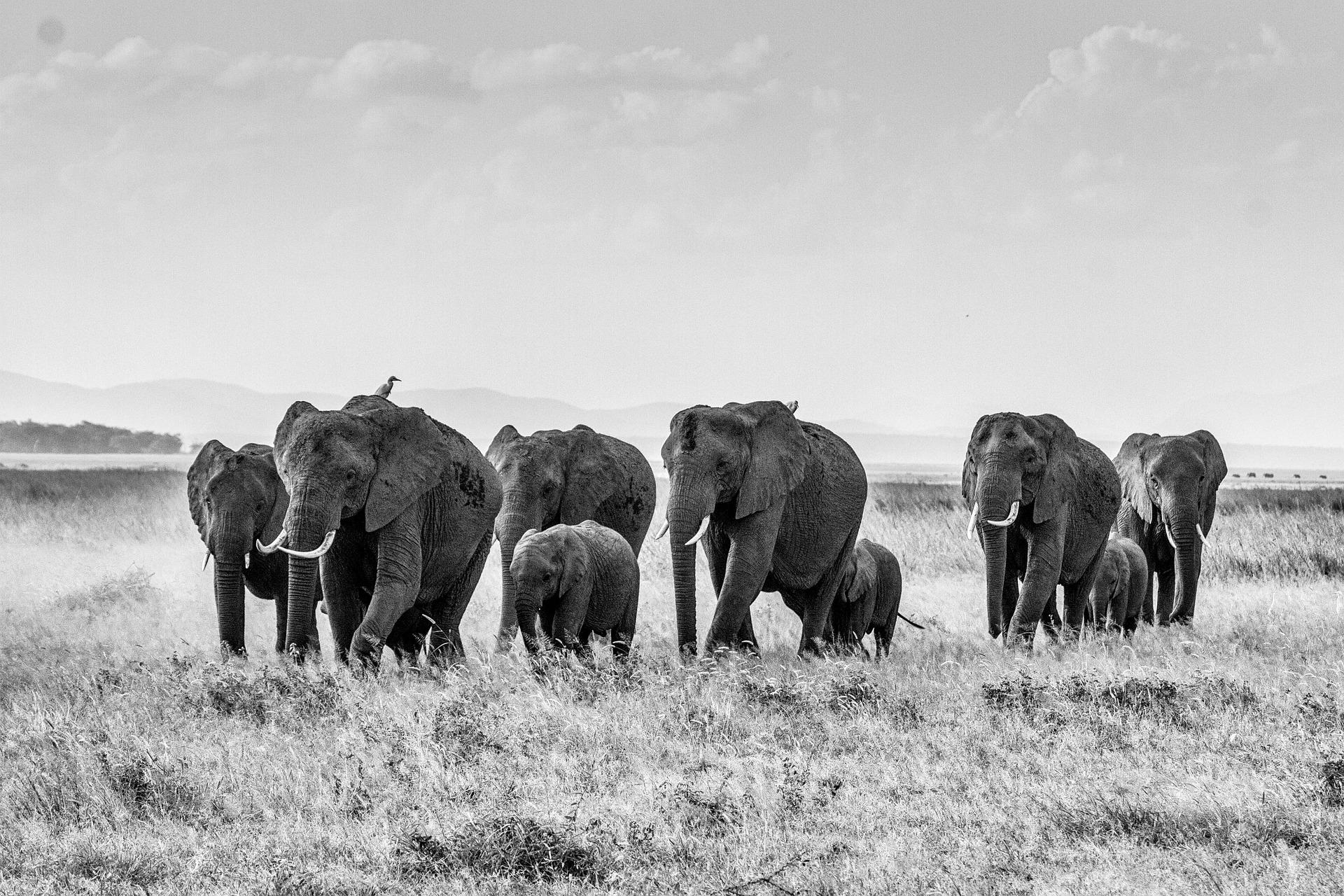 african-bush-elephant-283867_1920.jpg