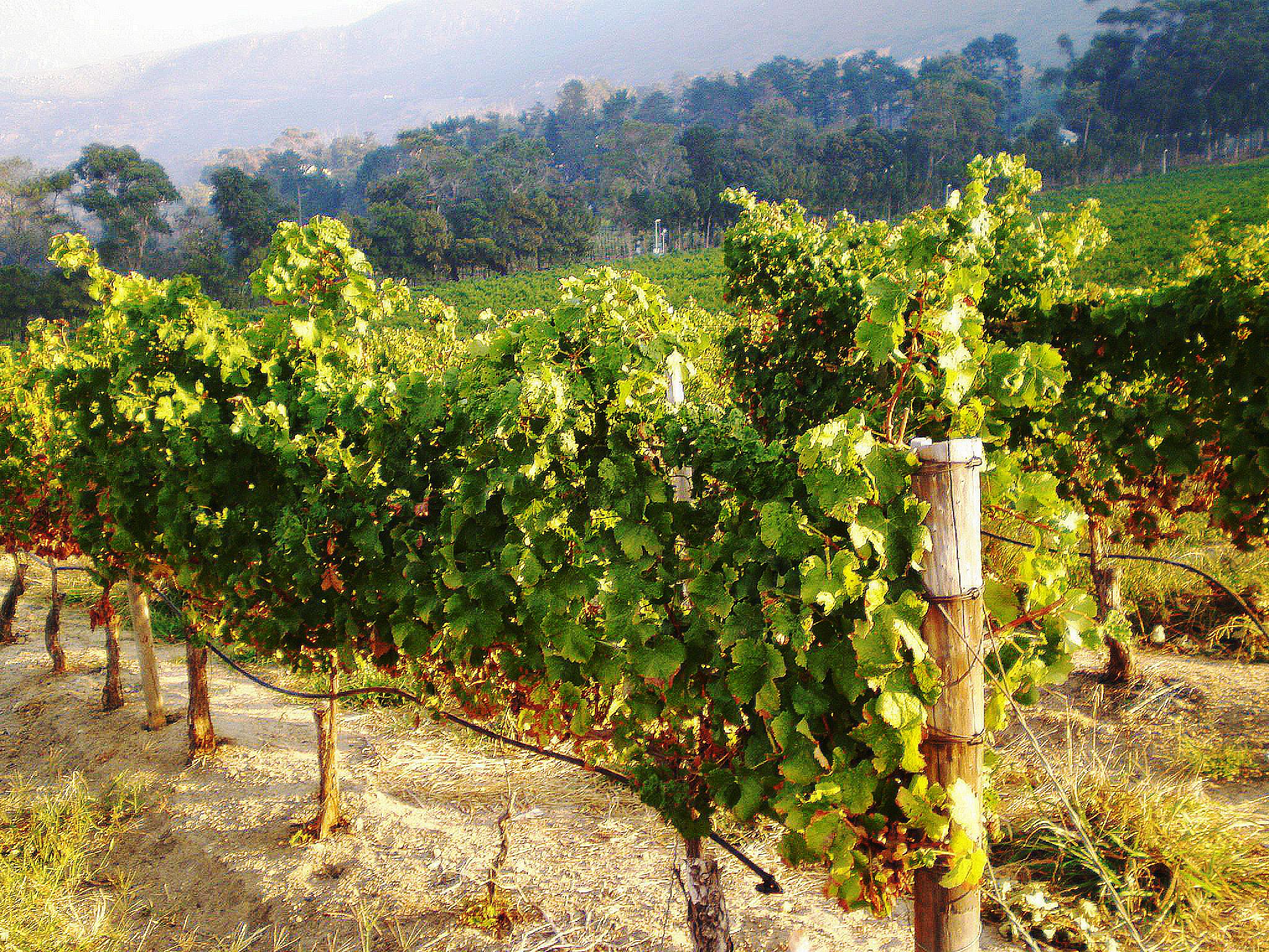Steenberg_Wineyards_Afrique_du_Sud.jpeg