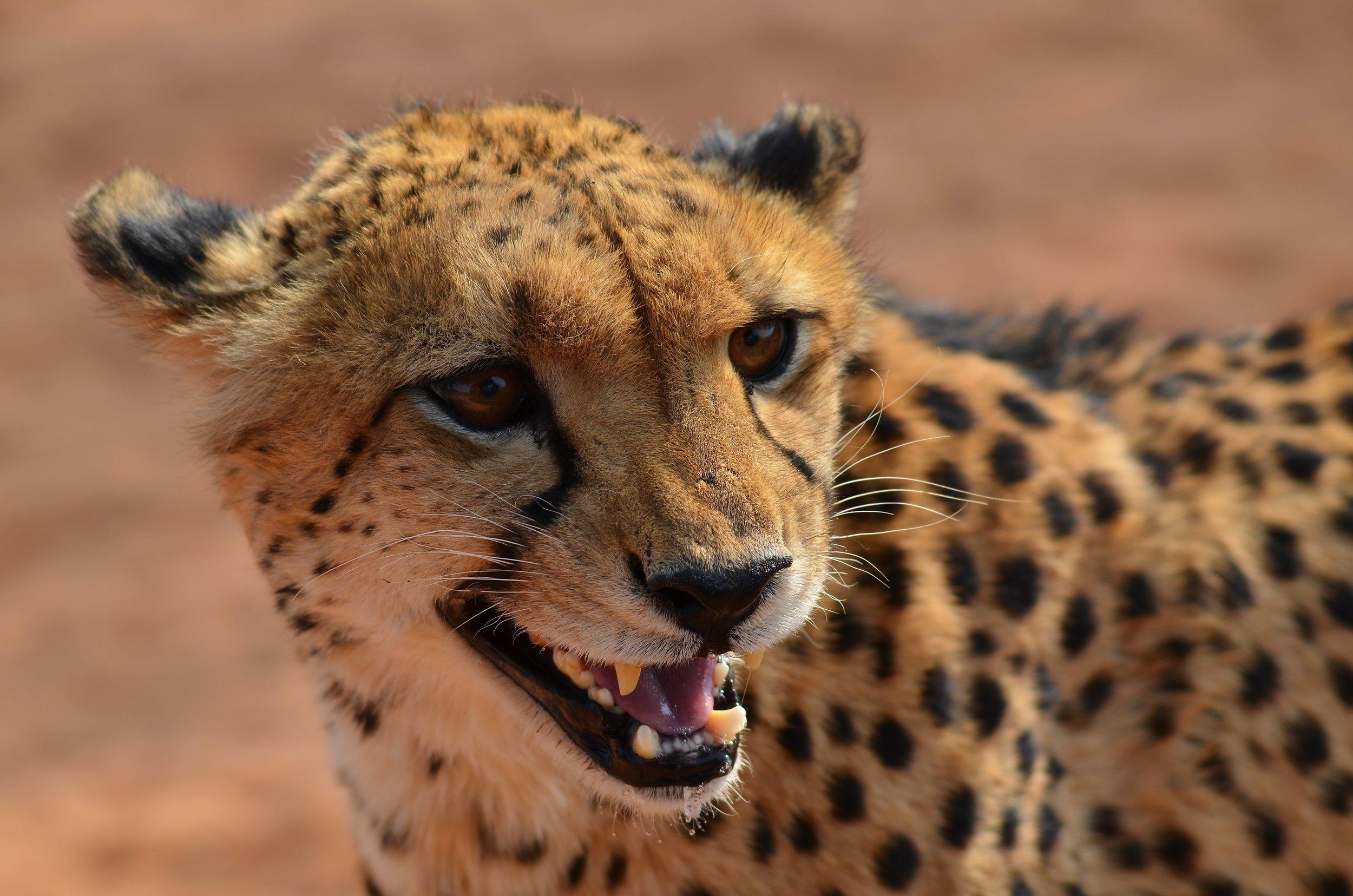 cheetah-2451779-min.jpg