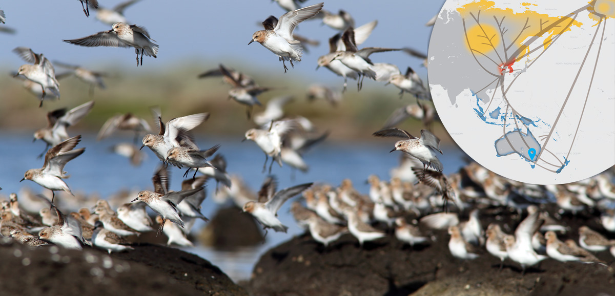Red-necked Stints landing at a rocky roost on the Western Treatment Plant coastline.