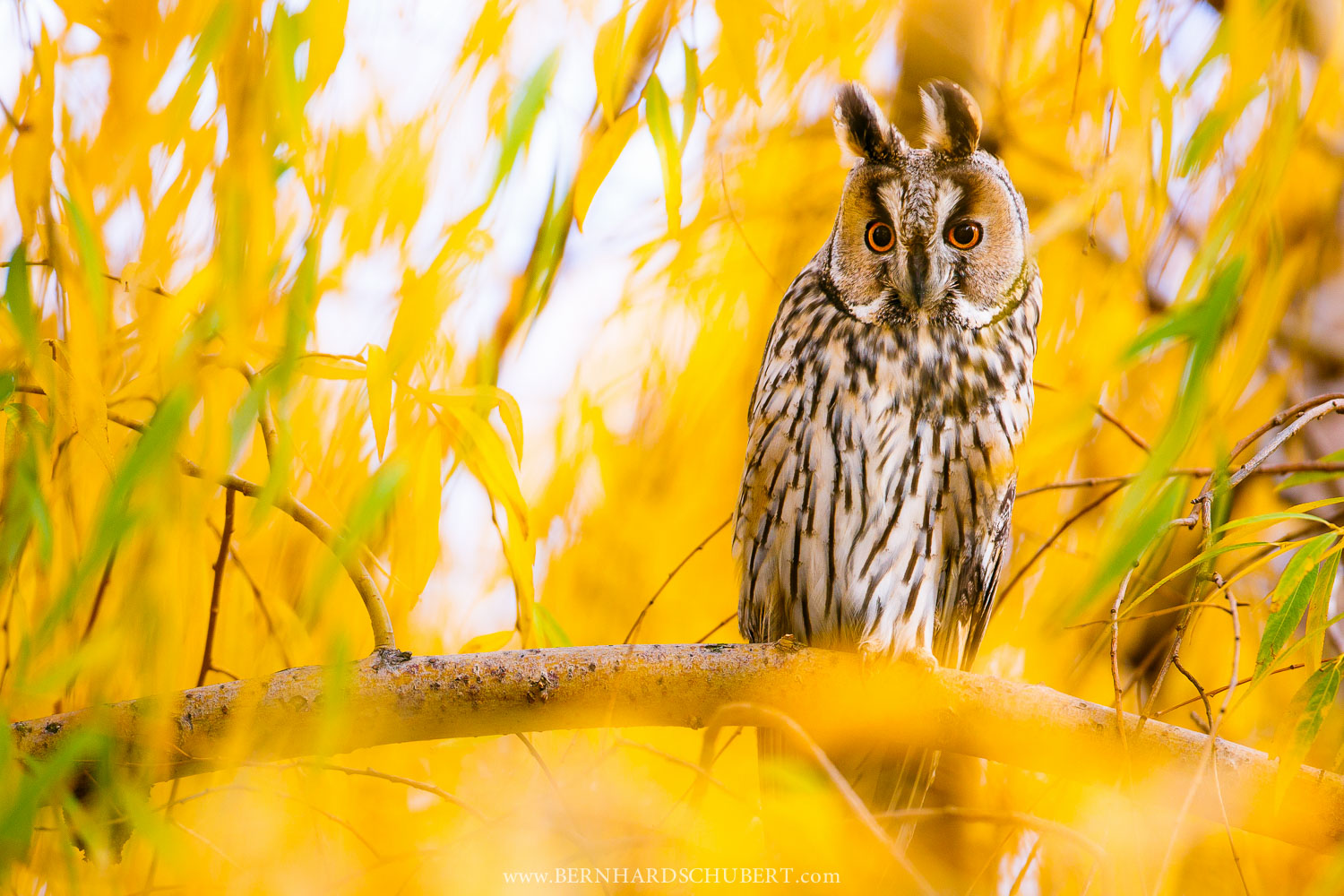 Long-eared owl in a Willow