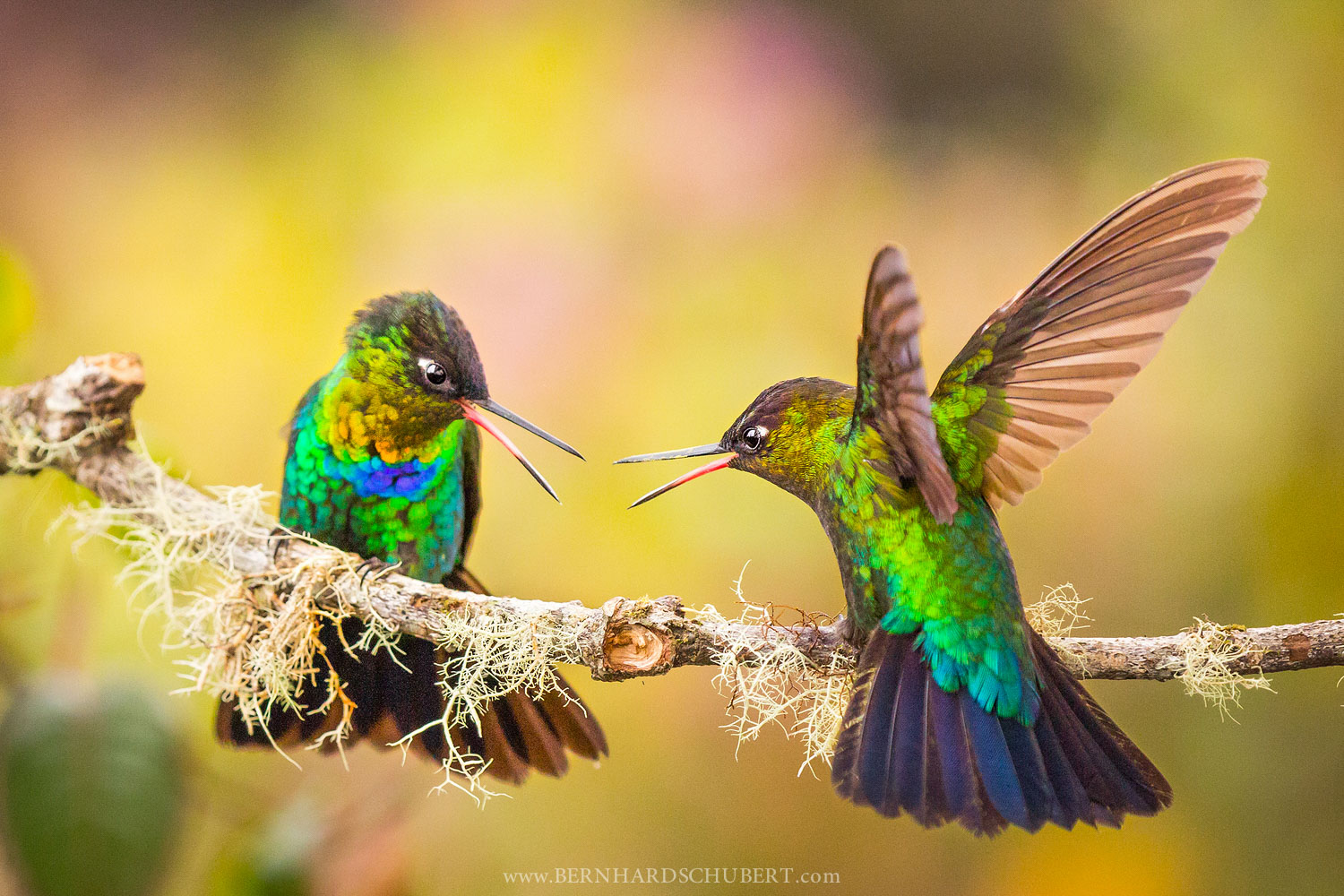 Hummingbird Fight
