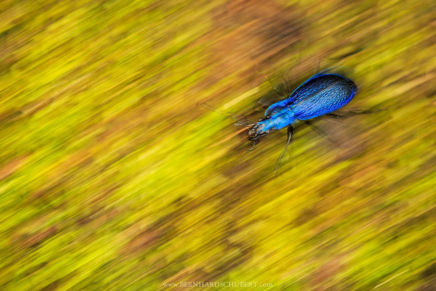 Ble ground beetle