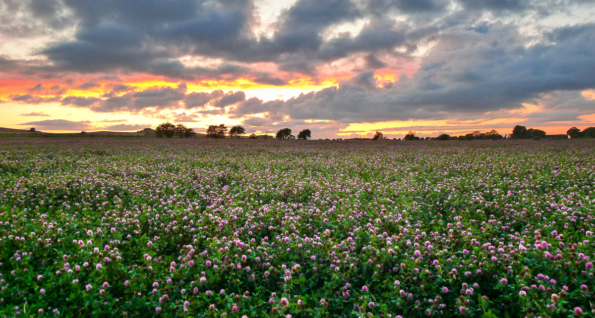 Clover waiting to be harvested