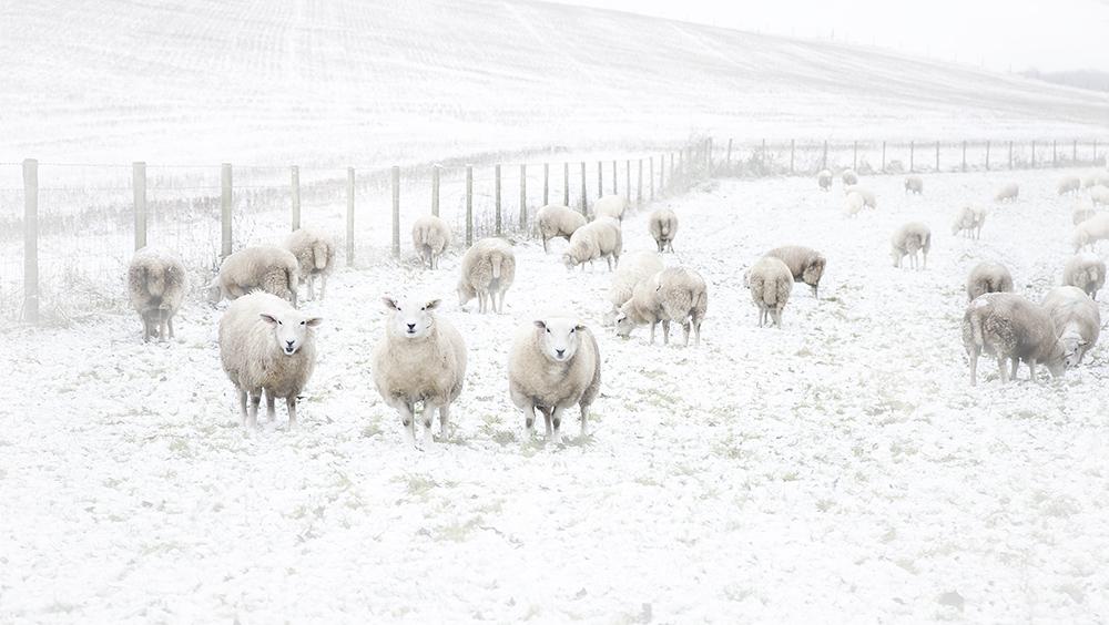 Loving those 'sheepish' expressions!