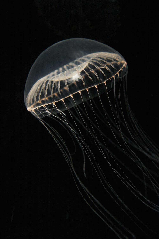 Aqeuorea victoria jellyfish image