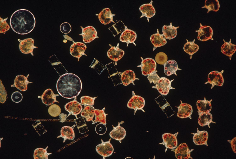Microscopic dinofalgellates and diatoms