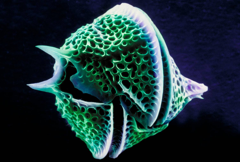 Close up of bioluminescent dinoflagellate, Ceratium