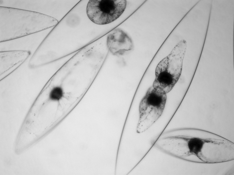Bioluminescent dinoflagellate Pyrocystis fusiformis