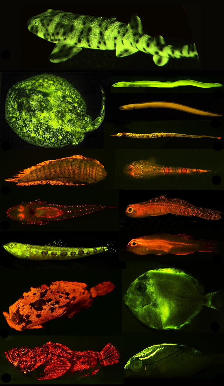 Image of biofluorescent fish from PLOS Covert World of Biofluorescence Publication