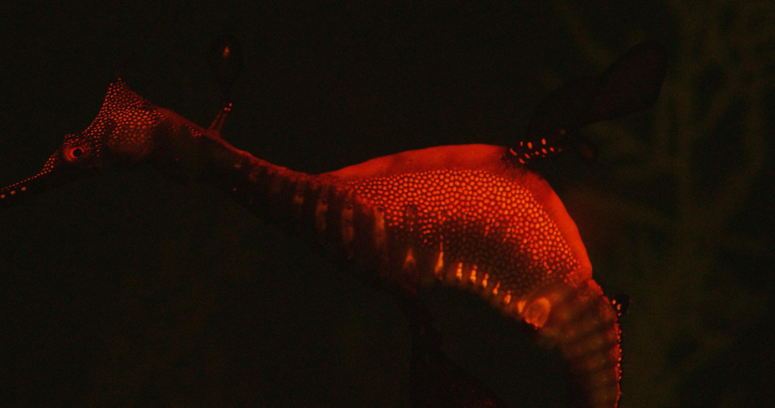 Biofluorescent Seadragon