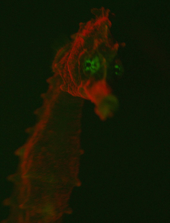 Biofluorescent Hippocampus erectus