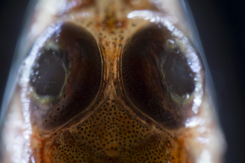 Enneapterygius-sp-(tripple-fin-blennie) white light