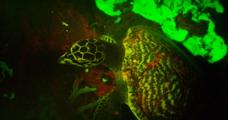 fluorescent hawksbill turtle