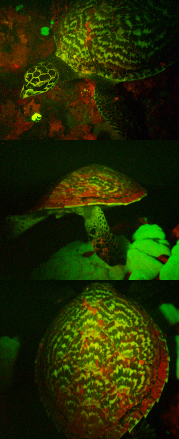 Biofluorescent turtle composite image