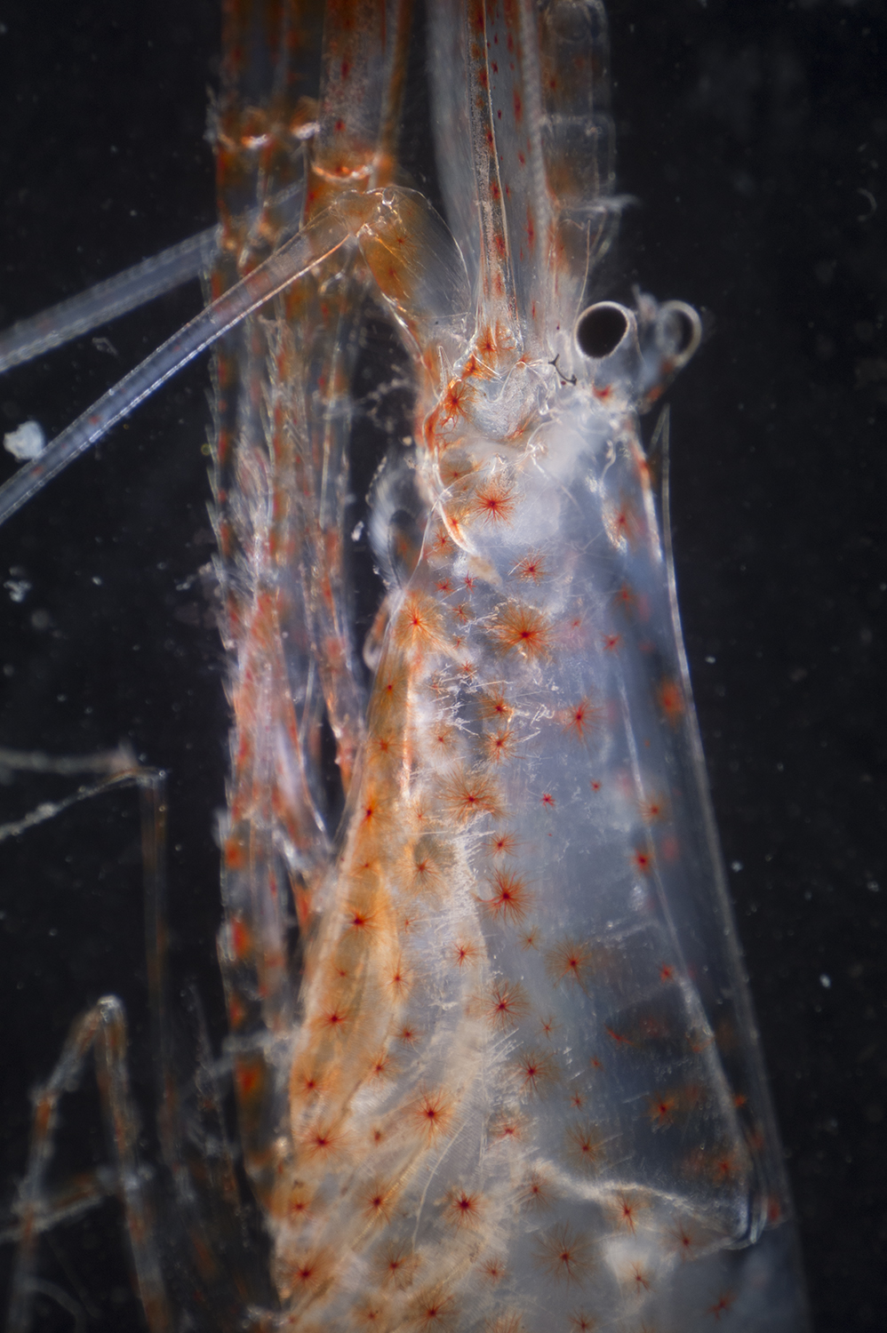 Deep sea shrimp