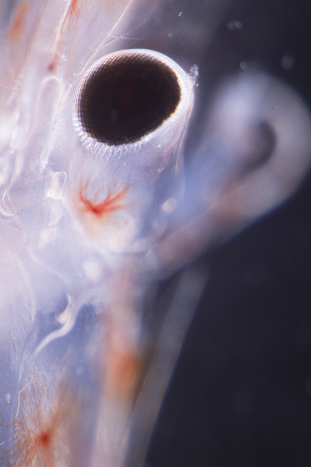 Deep sea shrimp eye