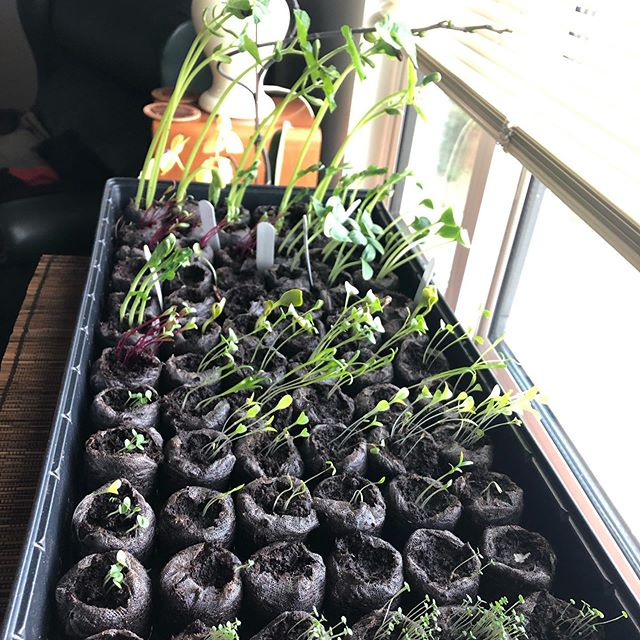 From one stage to the next! These seedlings are ready for the garden! #springtime #horticulturetherapy #happiness #happyplants #plantsmakepeoplehappy @bodynsoul_equine are you ready for your batch?