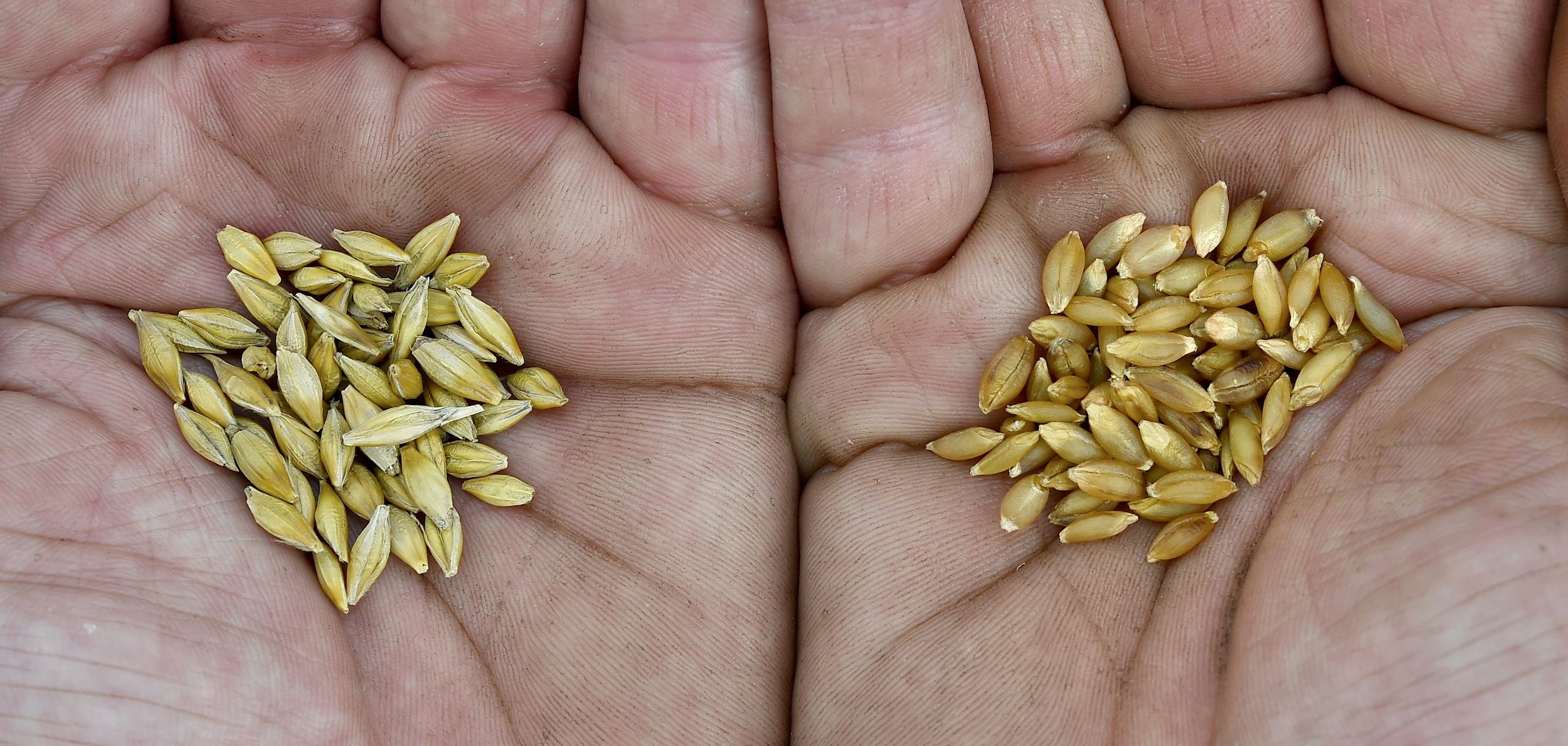It's barley, it's naked, and it's back in Britain   Read more...