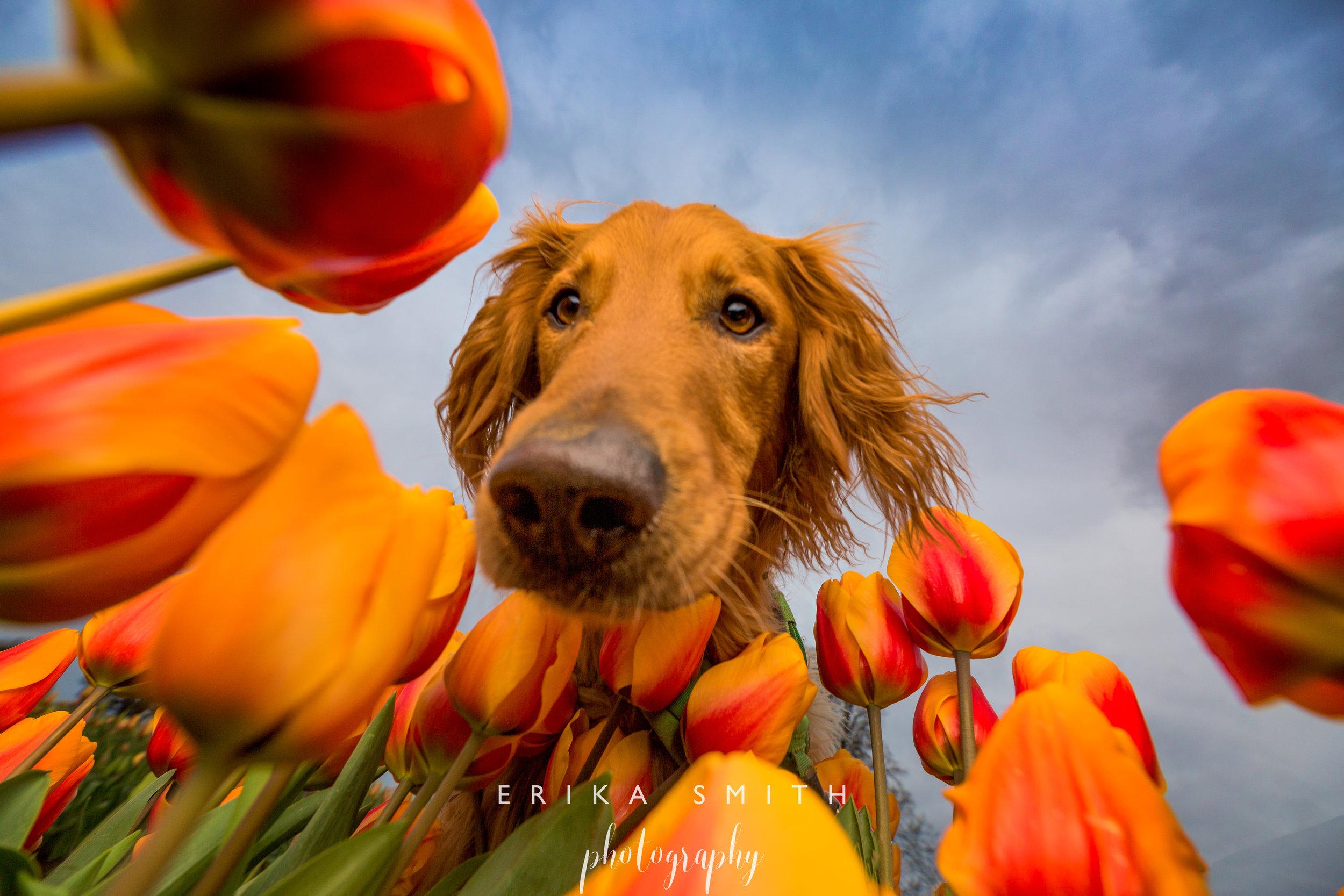 Ginger Tulips and Ninja