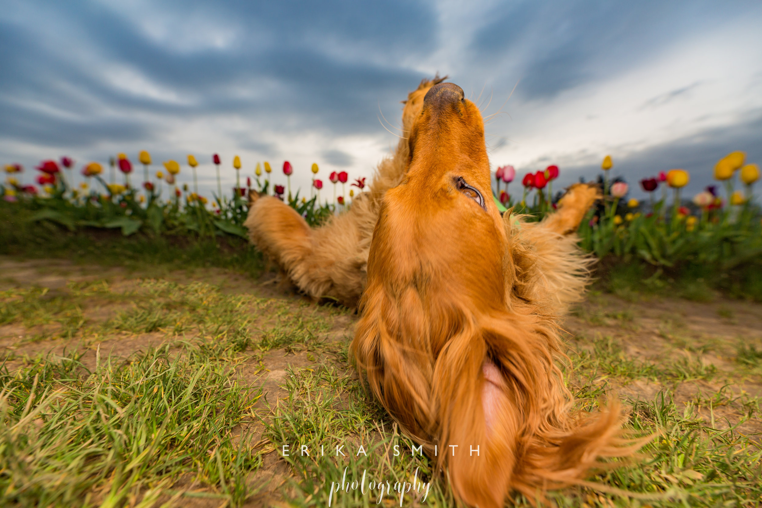 Rolling through the Tulips