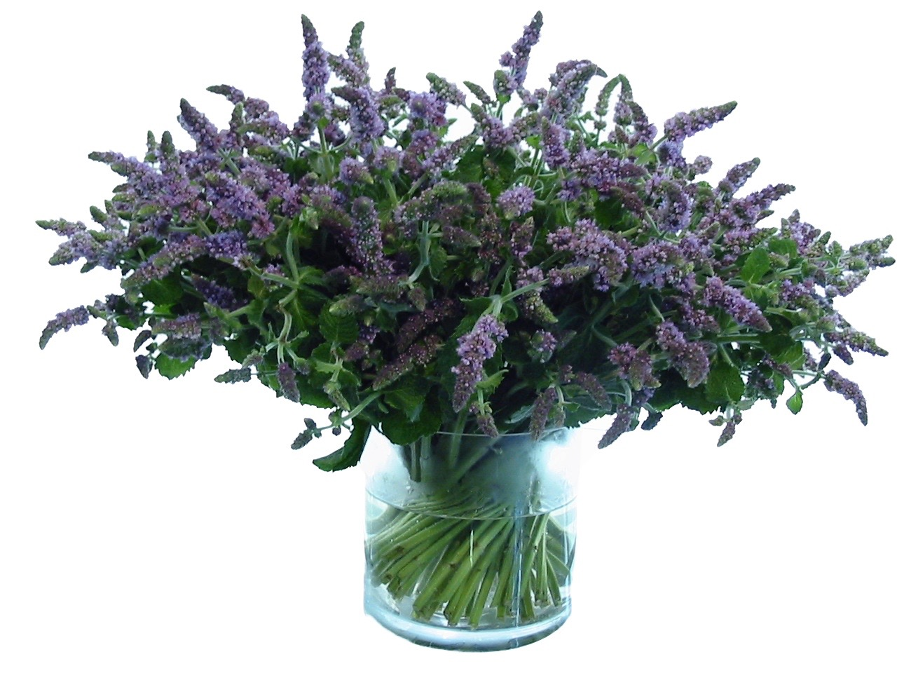 Purple Mint