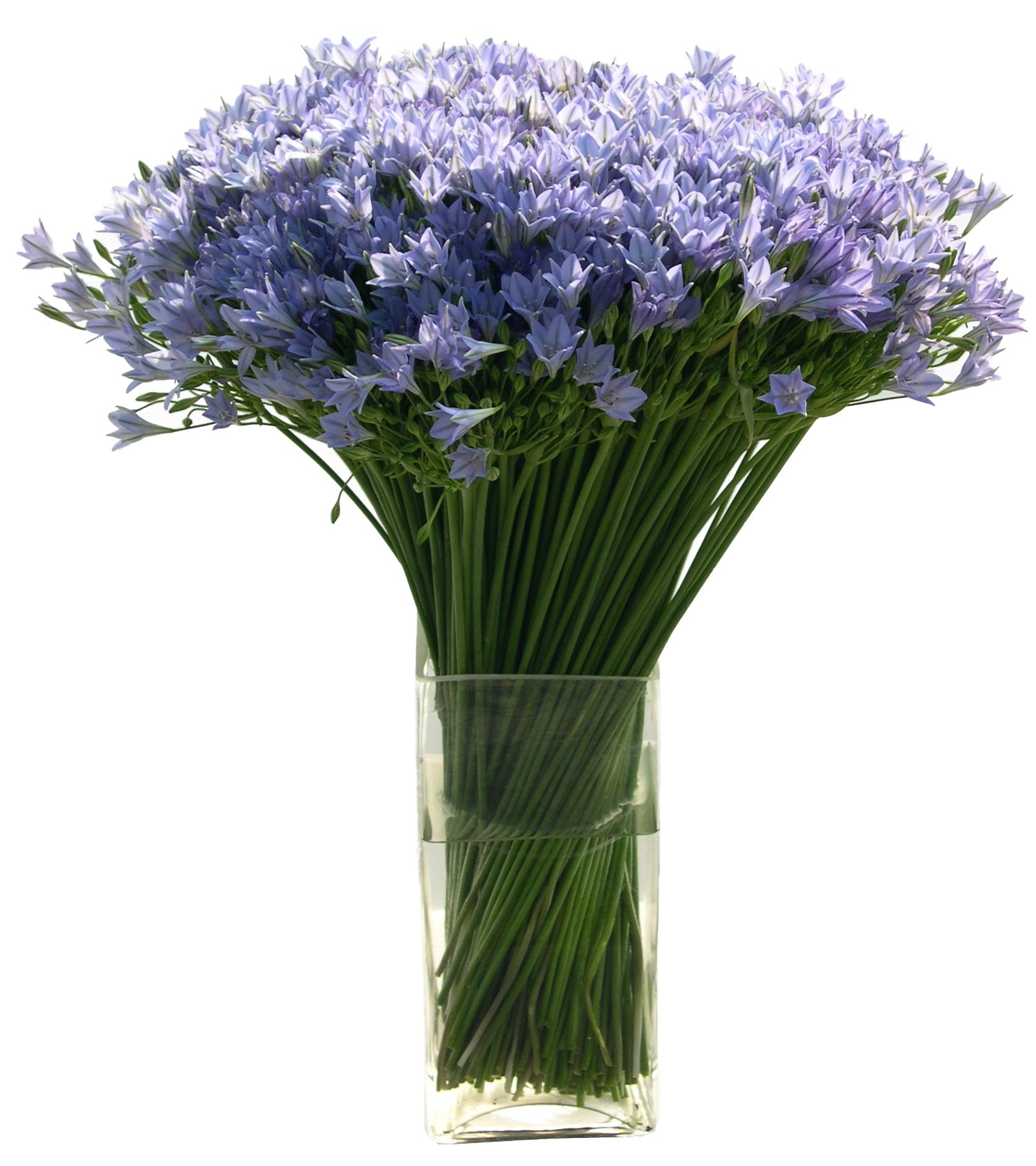 Blue Nerine