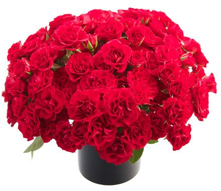 Prima Donna Roses