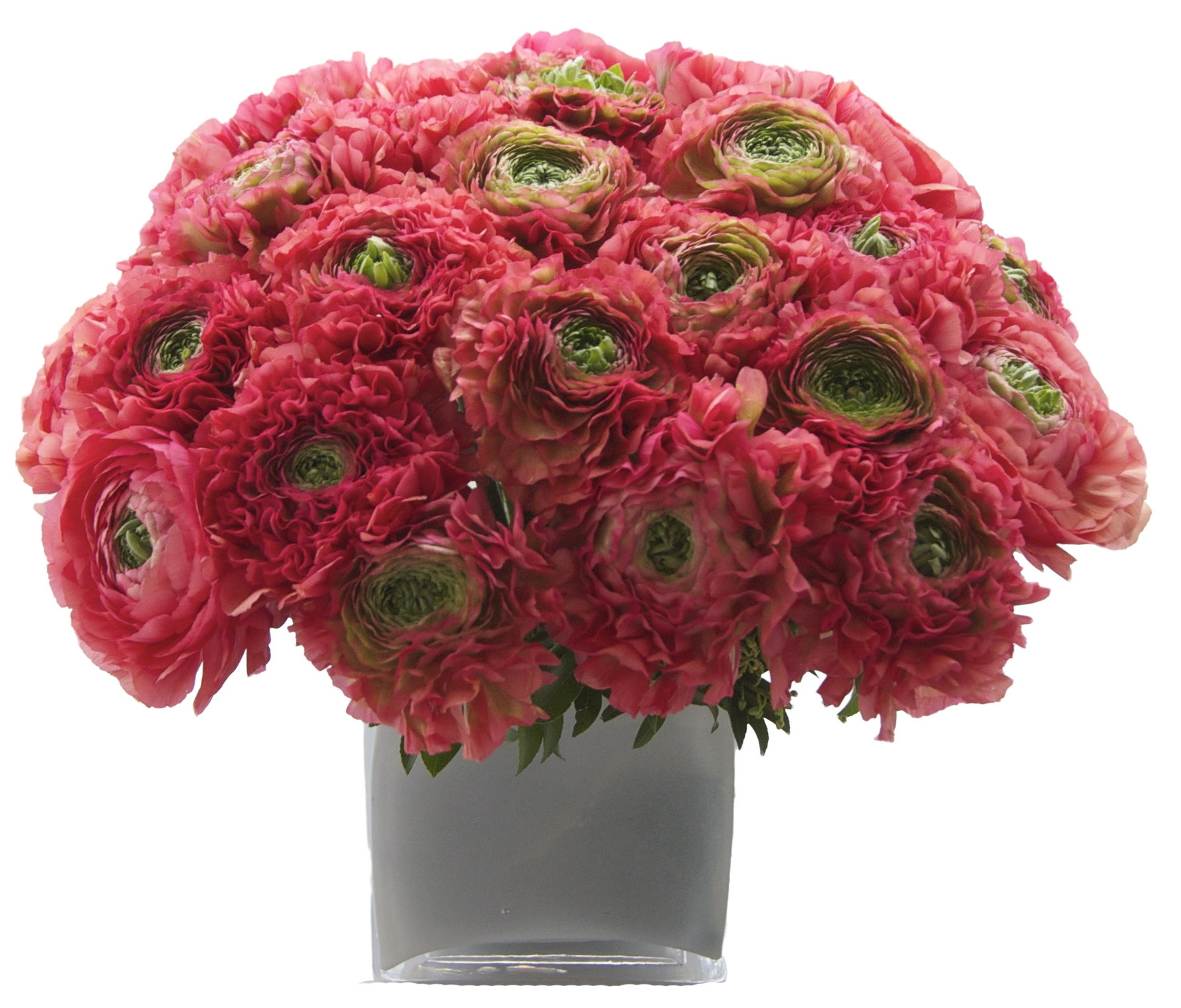 Pink Novelty Ranunculus