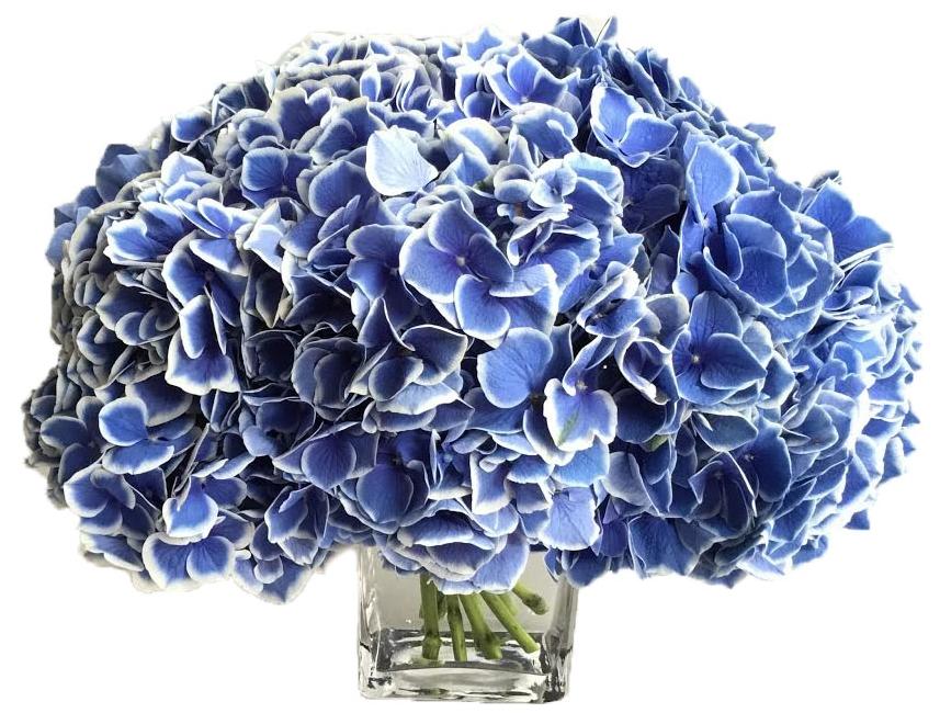 Blue Novelty Hydrangea