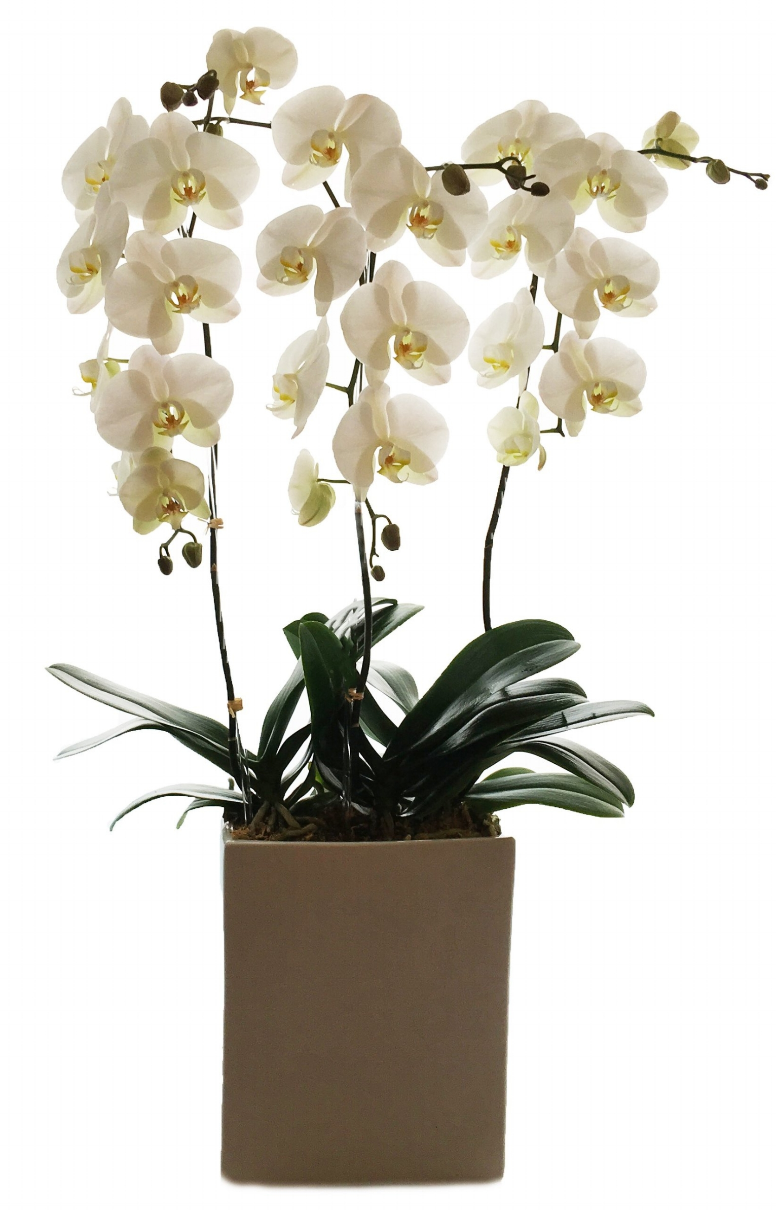 Orchid Plants start at $125