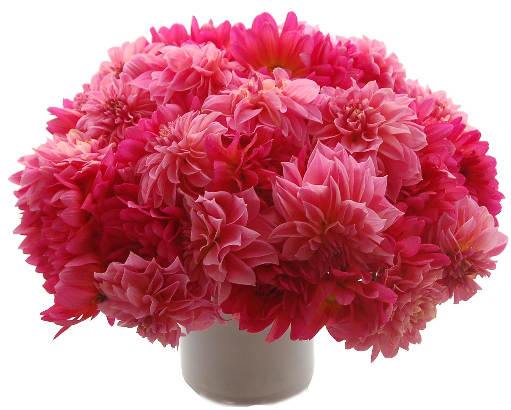 Hot Pink Dahlias start at $225