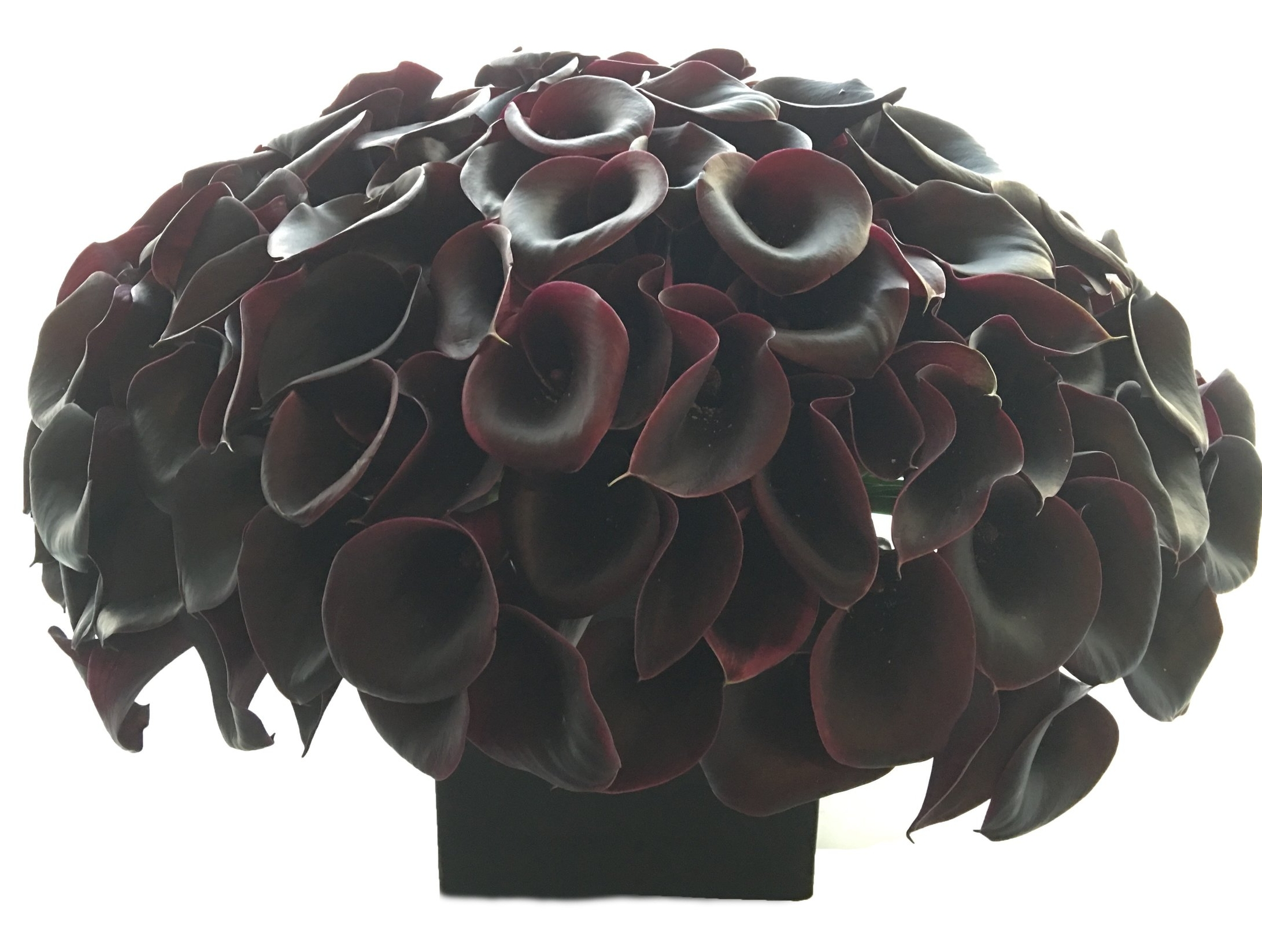 Black Calla Lilies start at $300