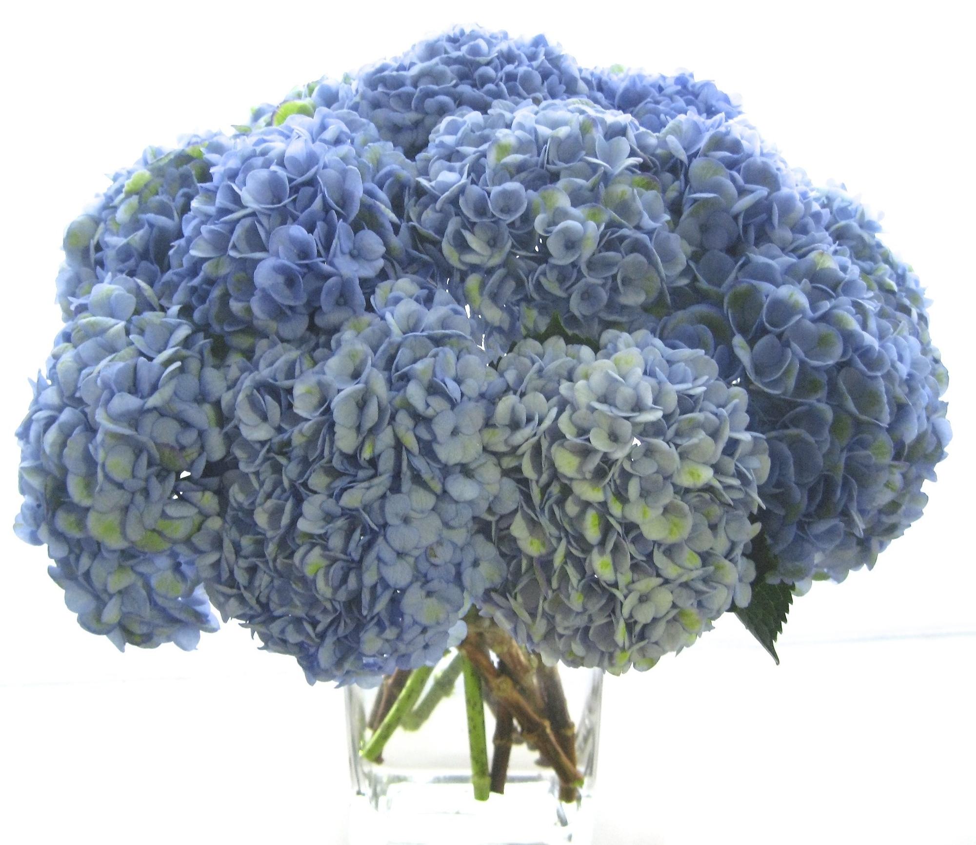 Marine Blue Hydrangea starts at $200