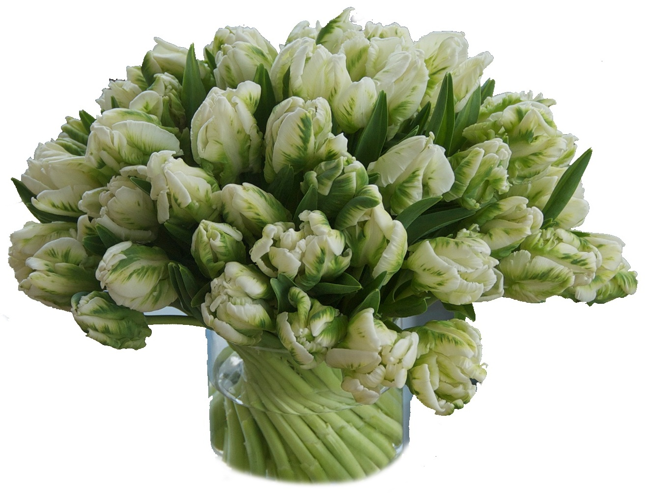 Green Parrot Tulips