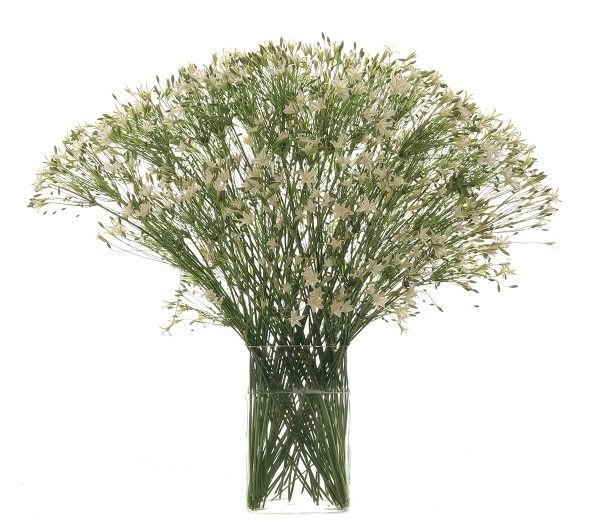 White Brodea