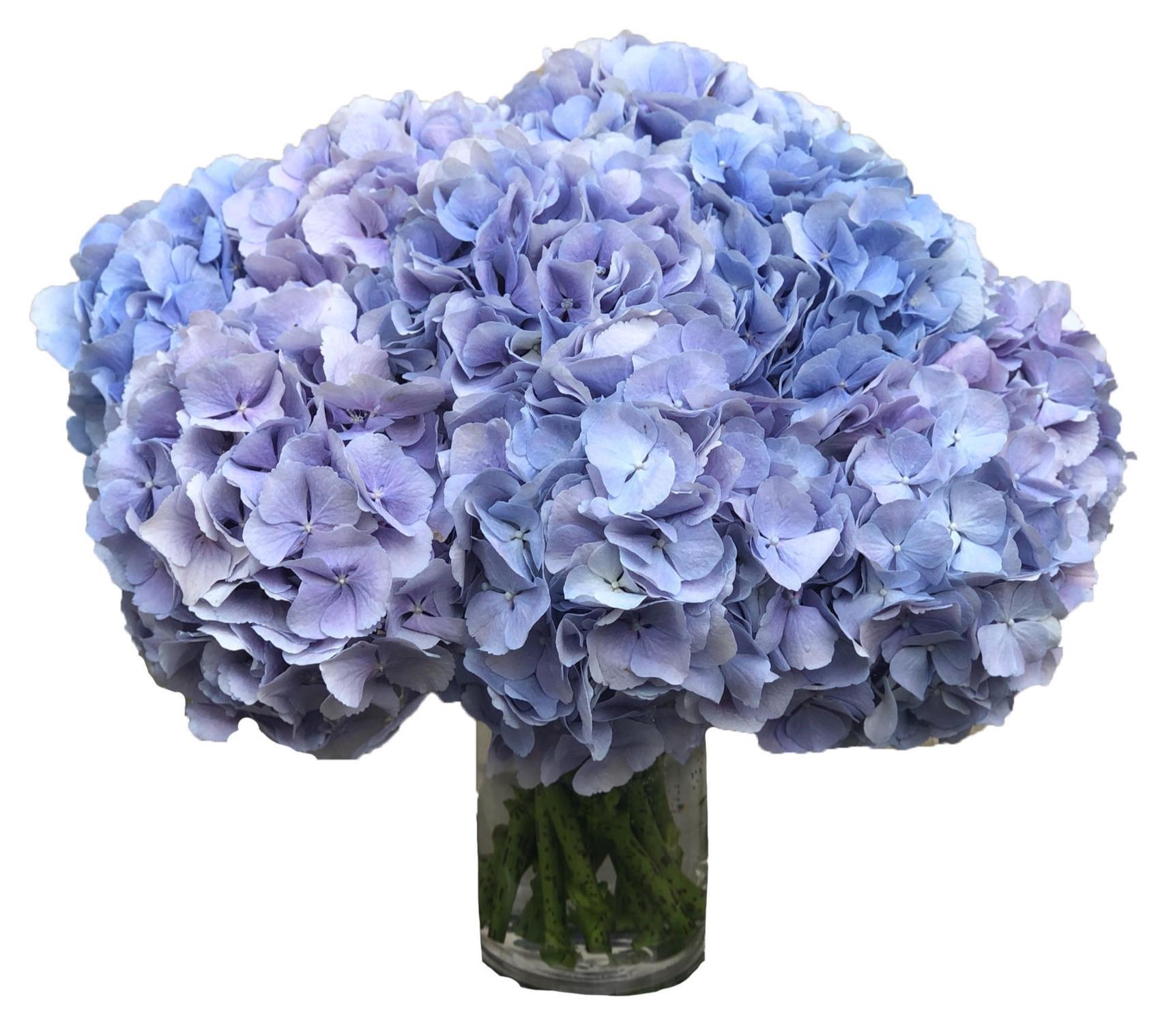 Bluish/Lavender Hydrangea