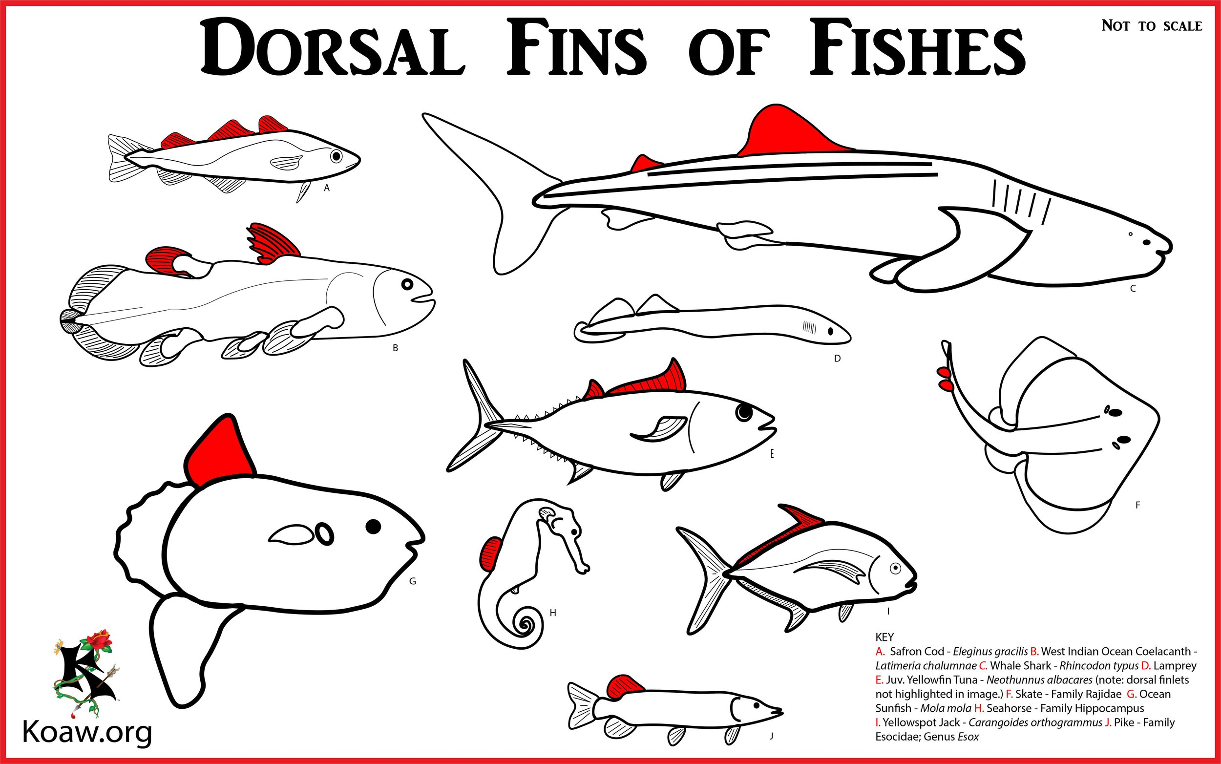 Dorsal Fins o Fishes - Illustration by Koaw