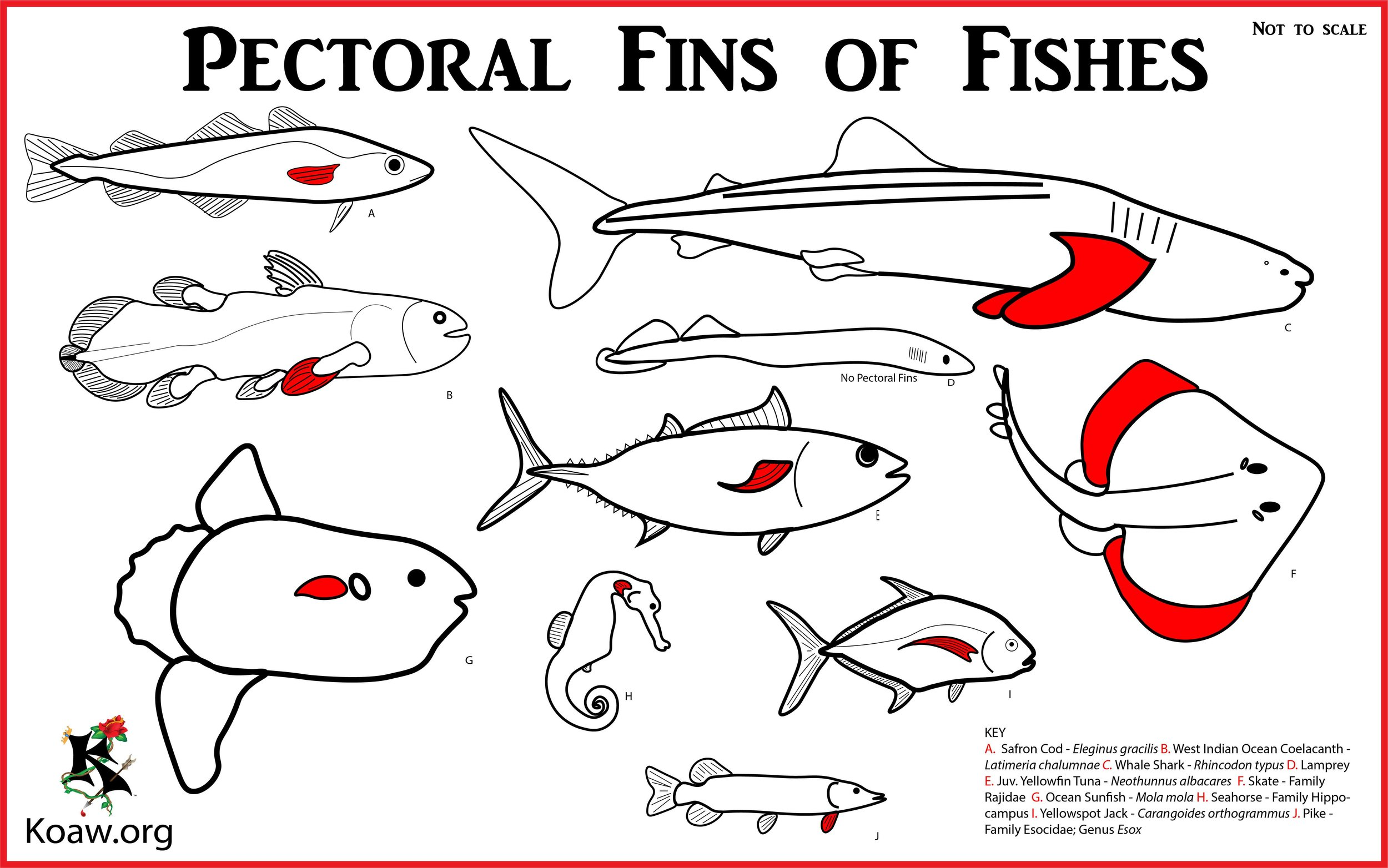 Pectoral Fins of Fishes - Illustration by Koaw