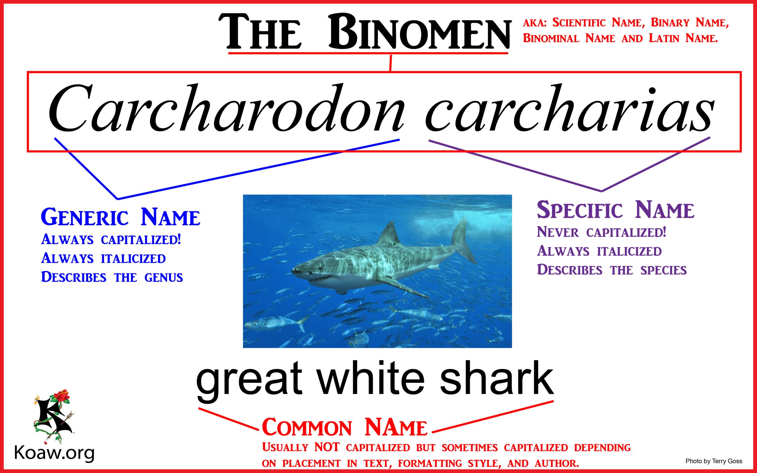 The Binomen (Scientific Name) - Illustration by Koaw