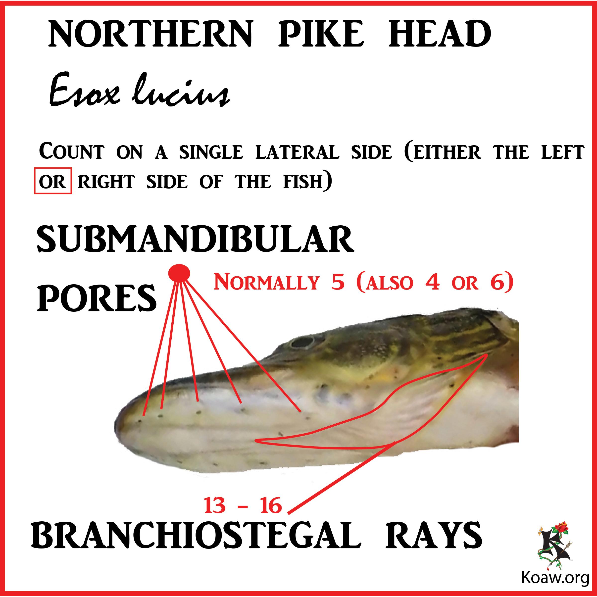 Submandibular Pores & Branchiostegal Rays N. Pike - Illustration by Koaw