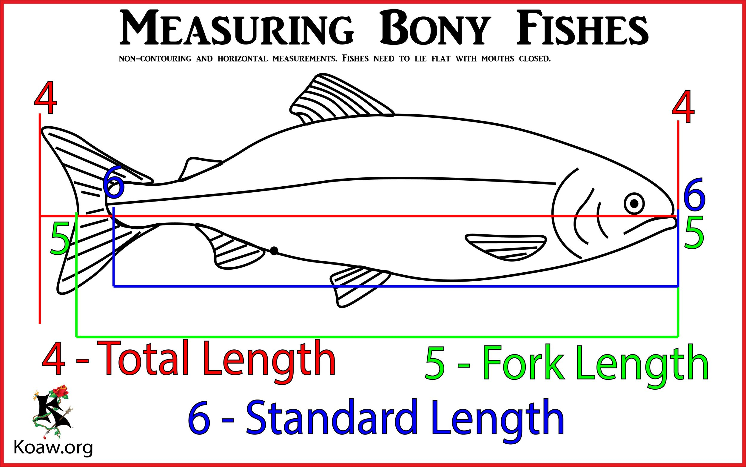 Measuring Fishes Total Length, Fork Length and Standard Length - Illustration by Koaw