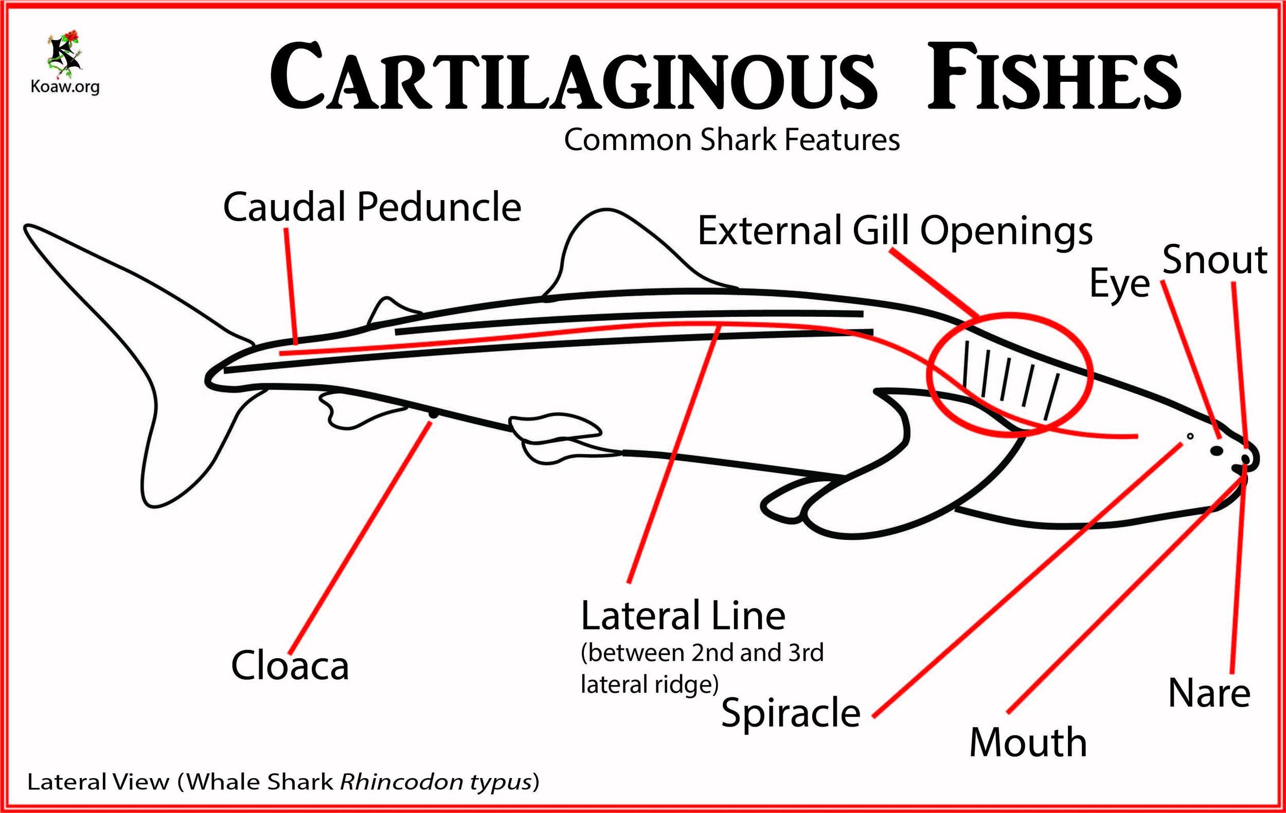 Cartilaginous Fishes - Shark Basics - Illustration by Koaw