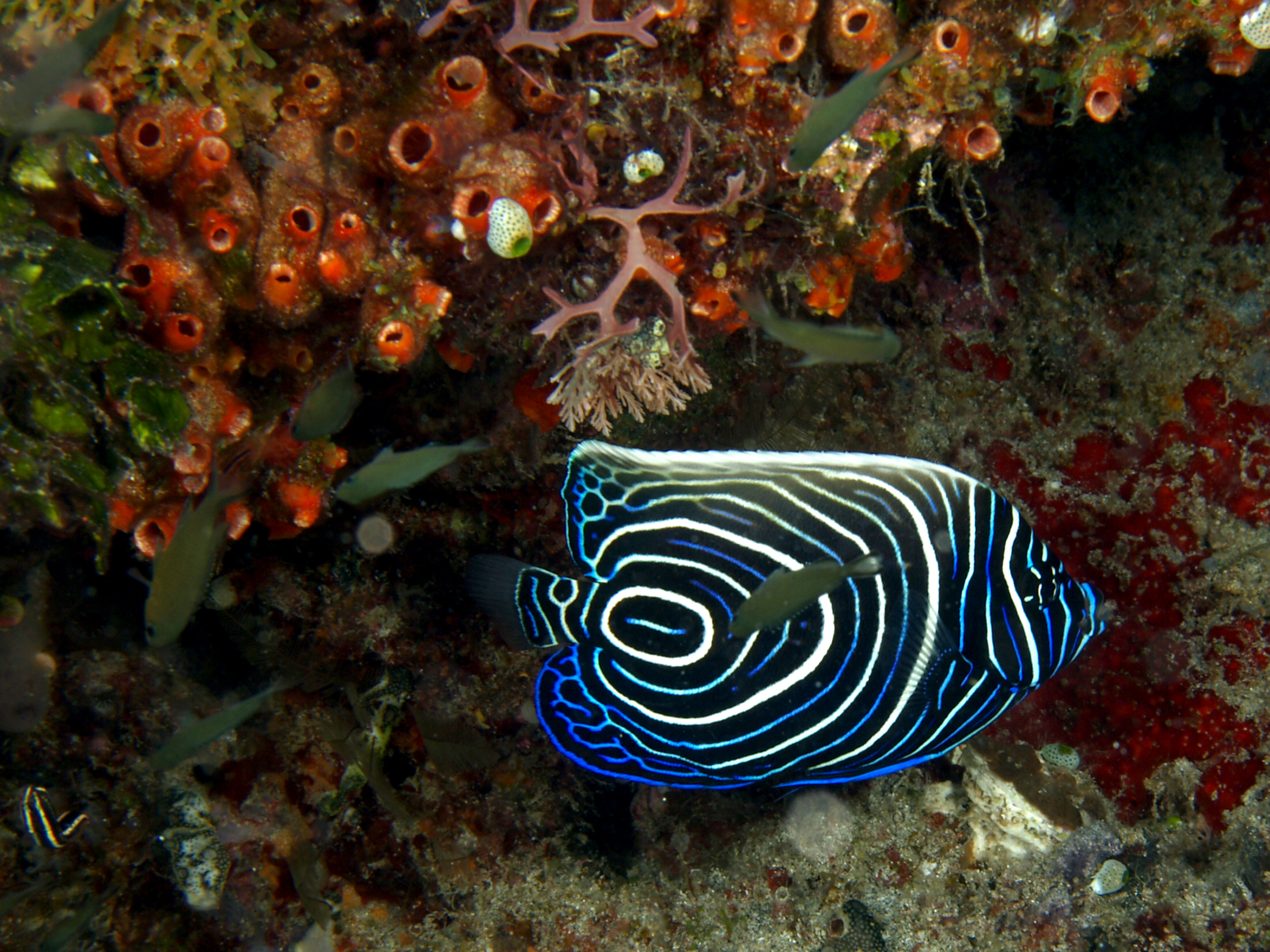 Juvenile emperor angelfish - Photo by Nick Hobgood